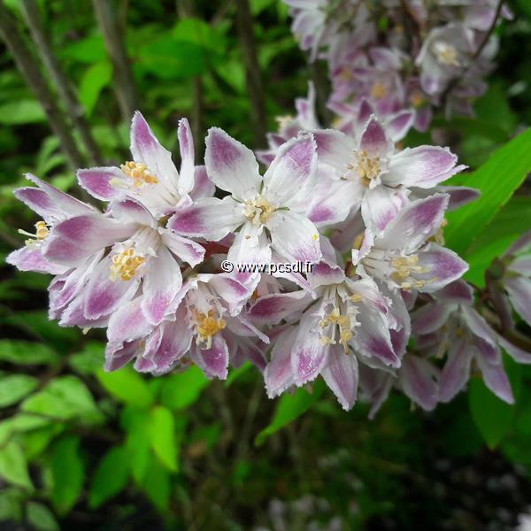 Deutzia x hybrida \'Raspberry Sundae\' ® C4L 40/50