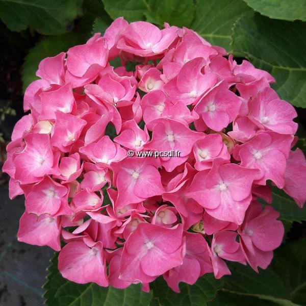 Hydrangea macrophylla \'Berlin\' ® C4L 20/40