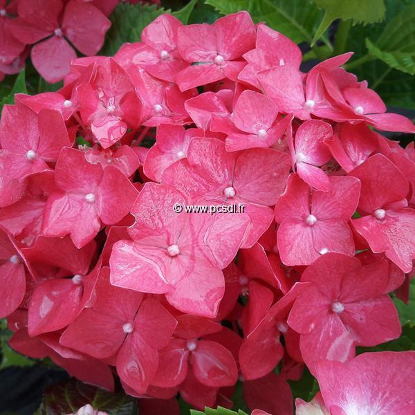 Hydrangea macrophylla \'Dolce Chic\' ® C4L 20/40