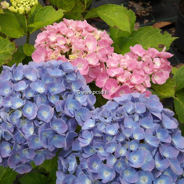Hydrangea macrophylla \'Early Sensation\' C4L 20/40