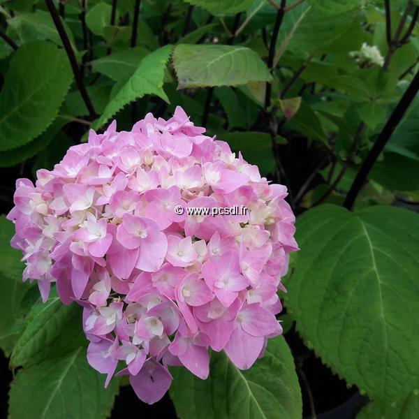 Hydrangea macrophylla (so-long) \'Ebony\' ® C4L 20/40