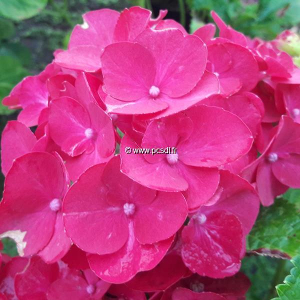 Hydrangea macrophylla \'Fireworks\' ® C4L 20/40