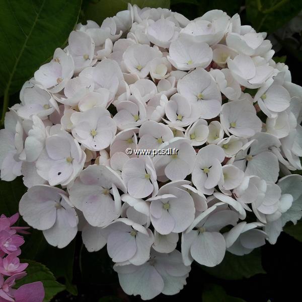 Hydrangea macrophylla (Hovaria) \'Holibel\' ® C4L 20/40