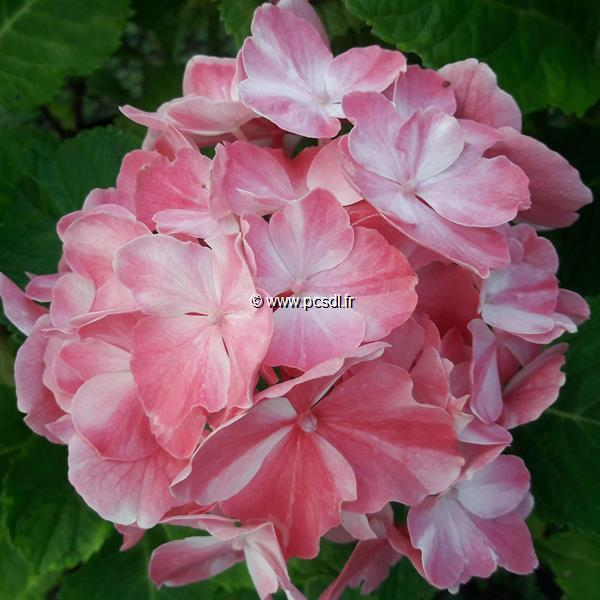 Hydrangea macrophylla (rendez-vous) \'La Vie en Rose\' ® C4L 20/40