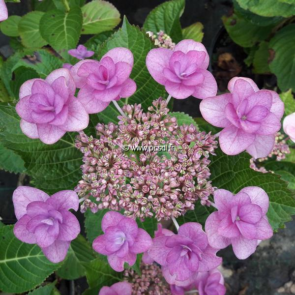 Hydrangea macrophylla \'Mikawa Yae\' C4L 20/40