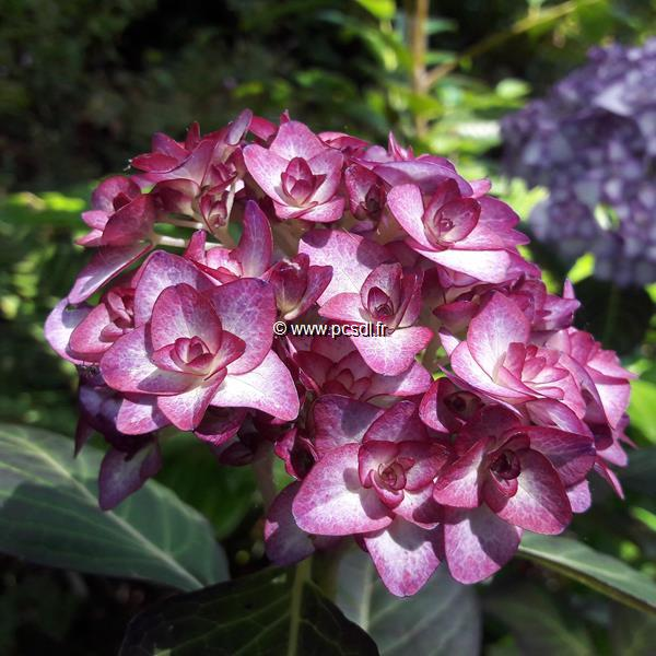 Hydrangea macrophylla \'Miss Saori\' ® C4L 20/40