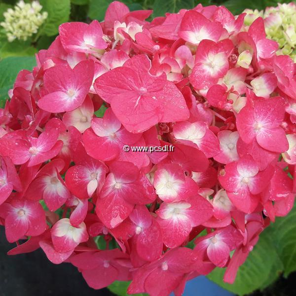 Hydrangea macrophylla (endless summer) \'Summer Love\' C4L 20/40