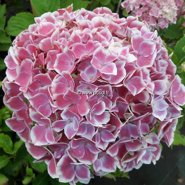 Hydrangea macrophylla (rendez-vous) \'Tandem\' ® C4L 20/40