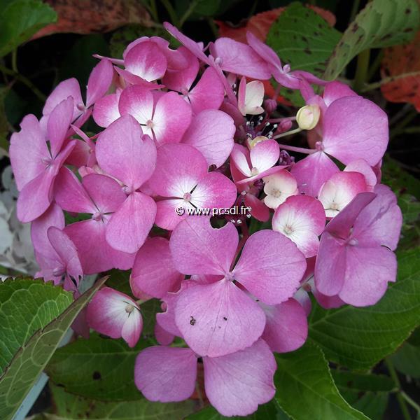 Hydrangea macrophylla \'Telenn\' C3L 20/40