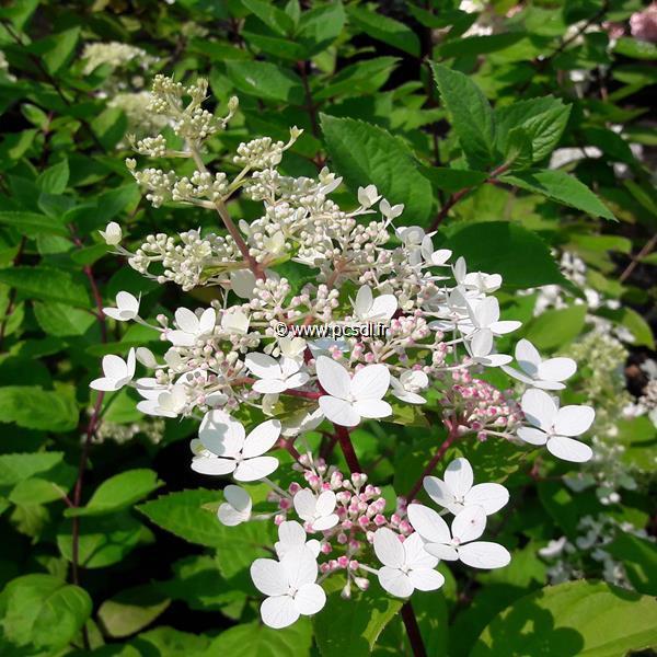 Hydrangea paniculata \'Angel\'s Blush\' C4L 40/50