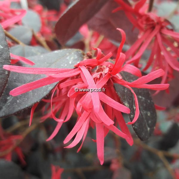 Loropetalum chinense f. rubrum \'Ever Red\' ® C10L 40/60