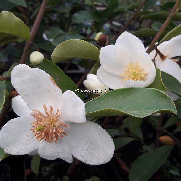 Magnolia yunnanensis (2)