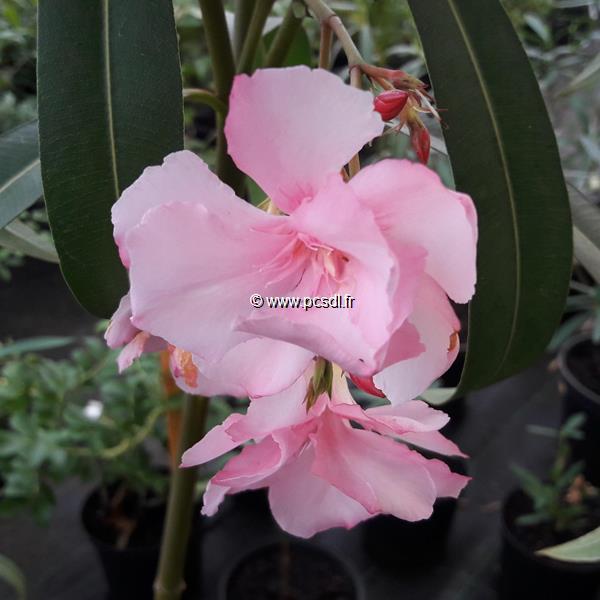 Nerium oleander \'Mme Allen\' C10L tige 1m