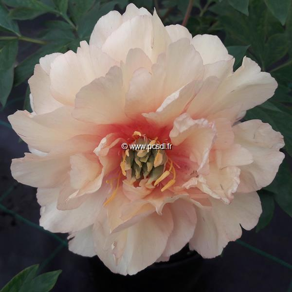 Paeonia x itoh \'Canary Brillants\' C4L