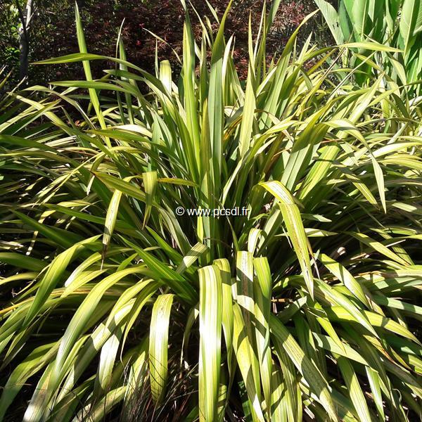 Phormium \'Yellow Wave\' C4L 40/50