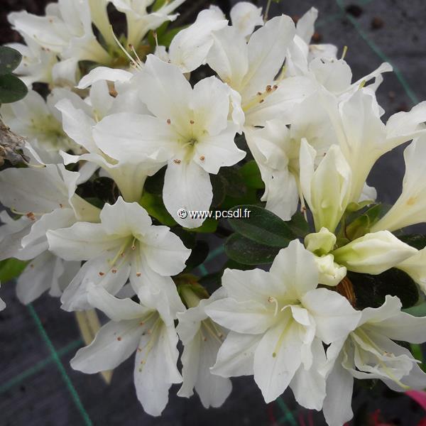Rhododendron (azalée persistante) \'Adonis\' C3L 20/30