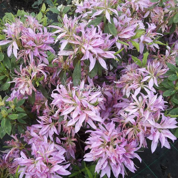 Rhododendron (azalée persistante) \'Koromo Shikibu\'