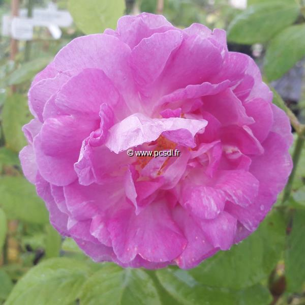 Rosa multiflora \'Grevillei\' C4L 80/100