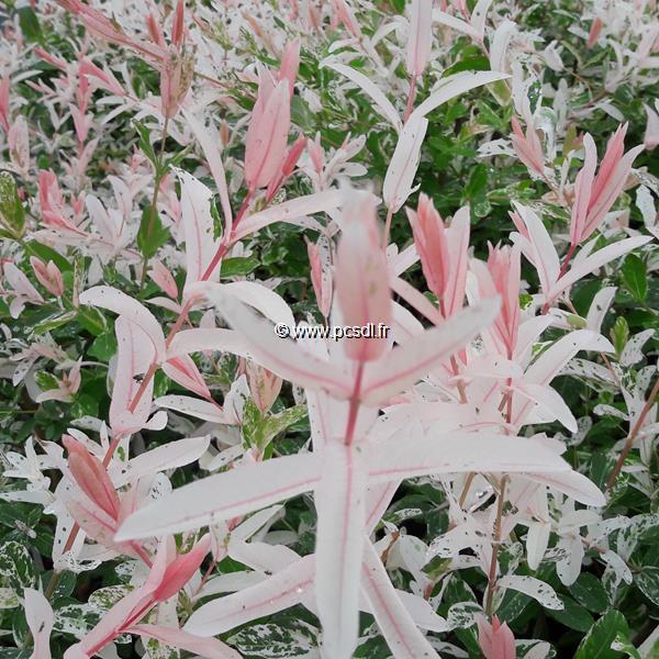 Salix integra \'Hakuro-nishiki\' C4L 30/40