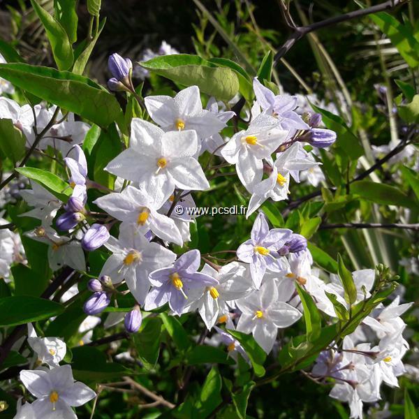 Solanum laxum C4L 40/60