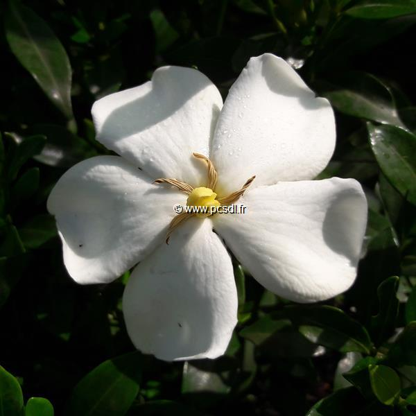 Gardenia jasminoides \'Sweet Heart\' ® C3L 20/30