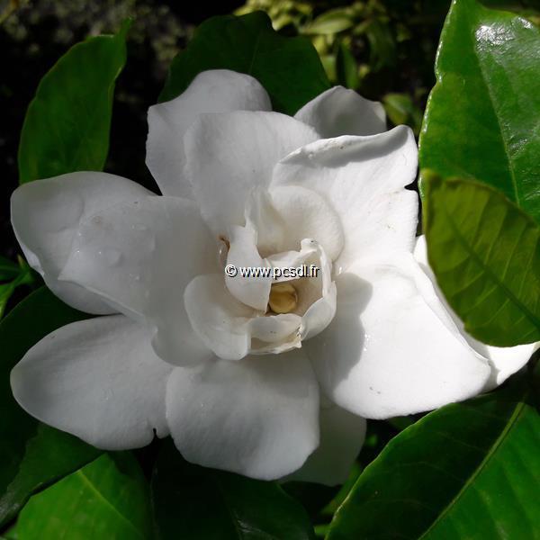 Gardenia x \'Grandenia\' ® C3L 40/50