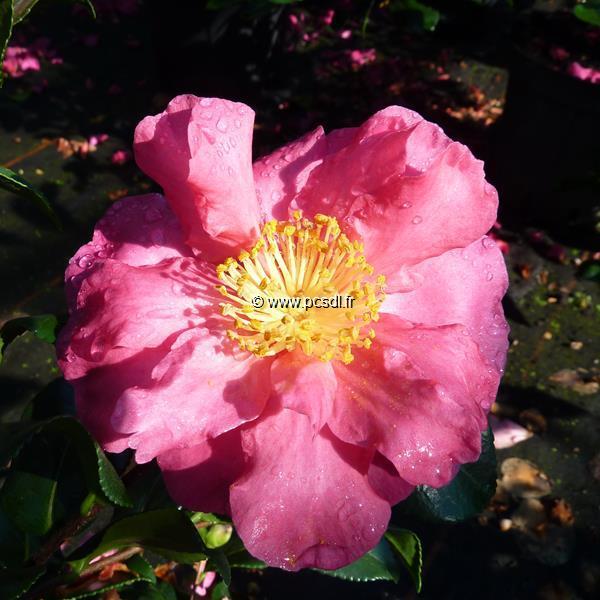 Camellia sasanqua \'Seiko\' C20L 150/175