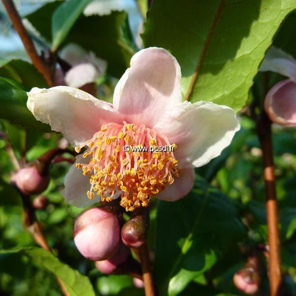 Camellia sinensis \'Beni-banada\' C4L 30/40