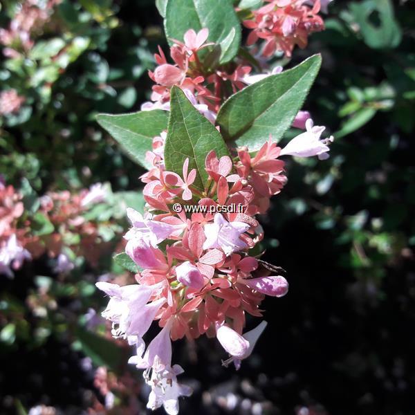 Abelia \'Raspberry Profusion\' ® C4L 40/50