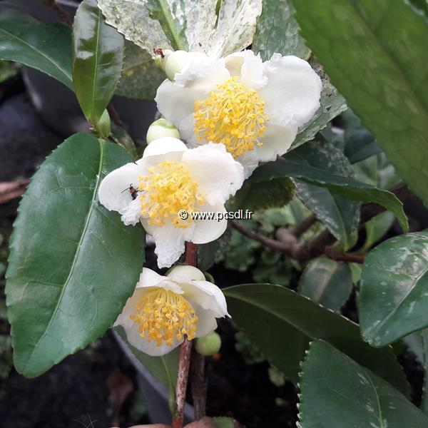 Camellia sinensis \'Variegata\' C7L 40/60