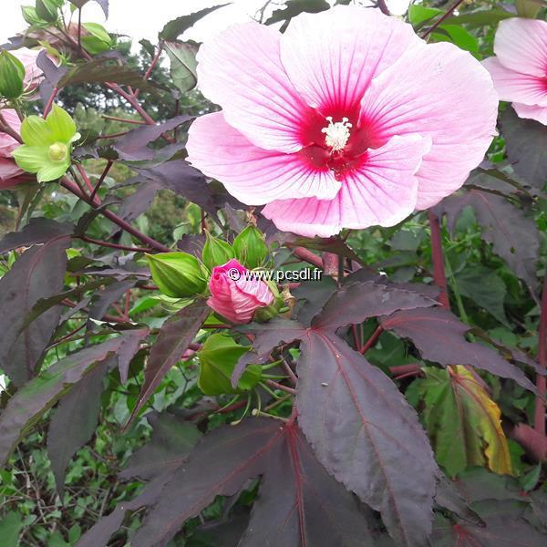 Hibiscus x moscheutos Summer Storm (3)