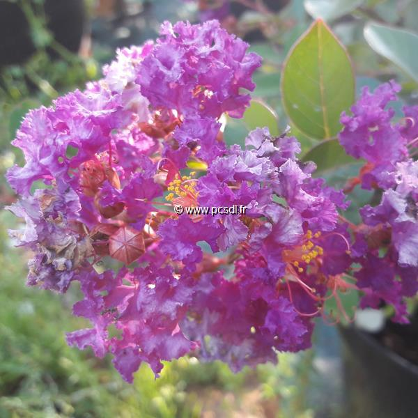 Lagerstroemia indica \'Pink All the Best\' ® C7L 30/40