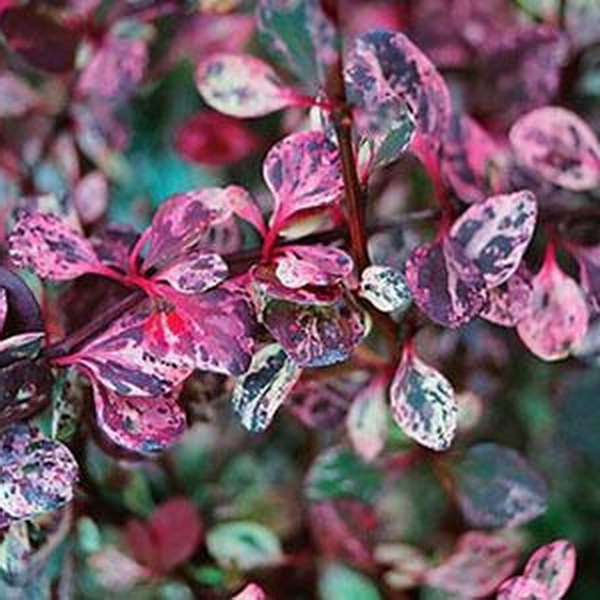 Berberis thunbergii \'Flamingo\' ® C4L 30/40