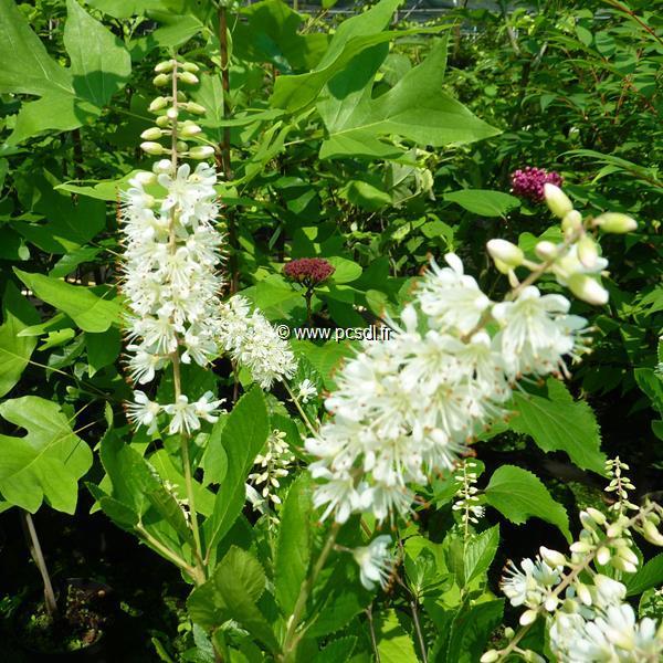 Clethra alnifolia \'Vanilla Spice\' ® C4L 60/80