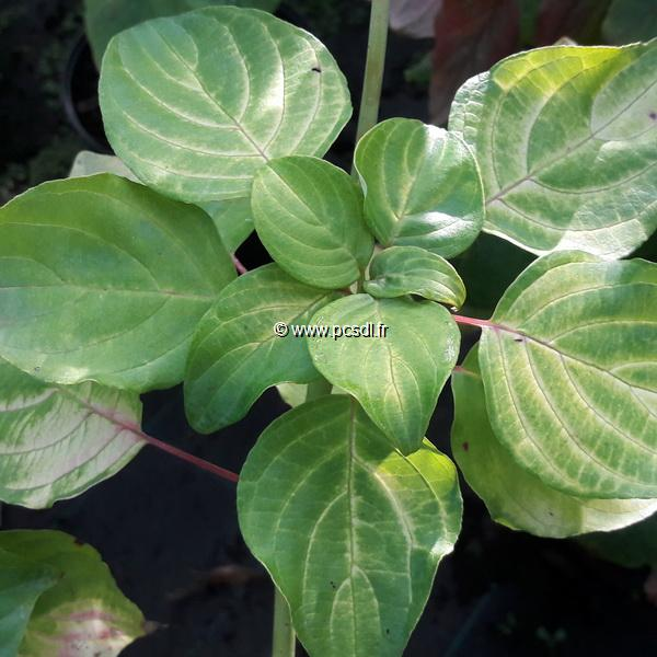 Cornus alternifolia \'Aurea\' C4L 60/80