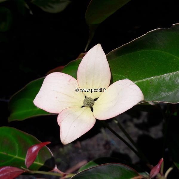Cornus hongkongensis \'Summer Glossy\' C4L 60/80