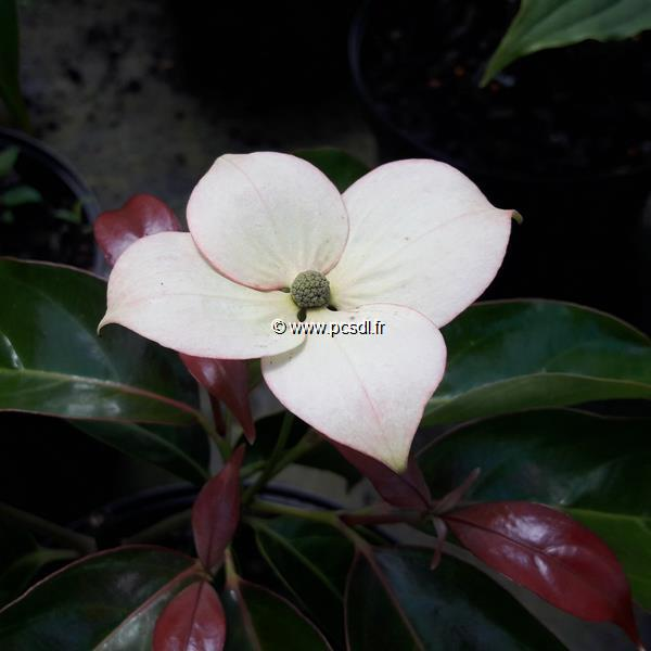 Cornus hongkongensis \'Summer Flair\' C4L 60/80