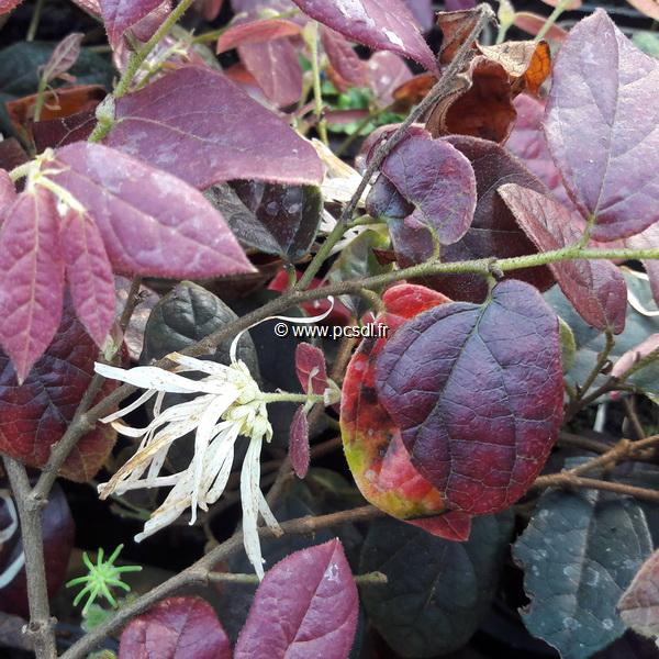 Loropetalum chinense \'Ruby Snow\' ® C4L 20/30