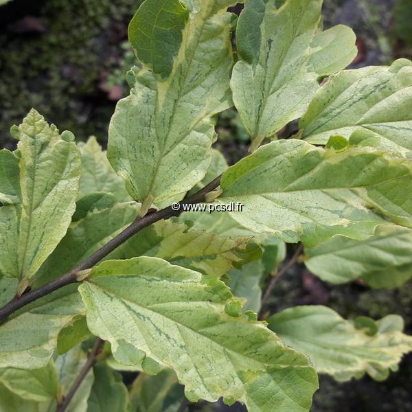 Parrotia persica \'Persian Lace\' C4L 40/60