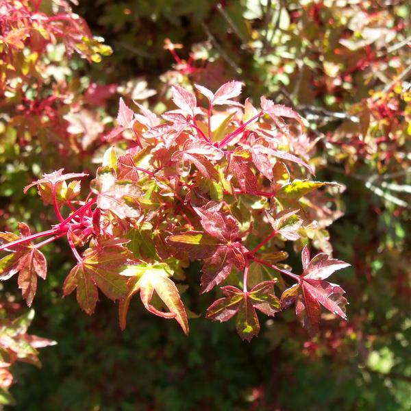 Acer palmatum \'Beni Hime\' C4L 60/80