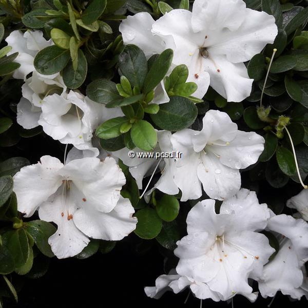 Rhododendron (azalée persistante) \'Encore Autumn Angel\' ® C3L 20/30