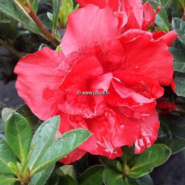 Rhododendron (azalée persistante) \'Encore Autumn Fire\' ® C3L 20/30