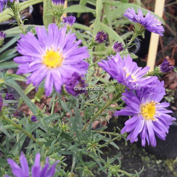 Aster \'Purple Dôme\' C3L