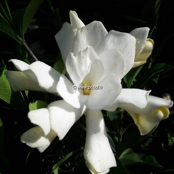 Gardenia jasminoides \'Celestial Star\' ® C3L 20/30