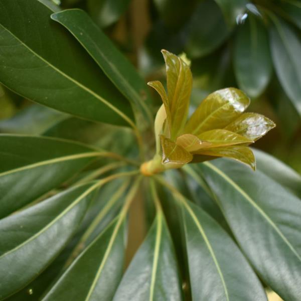 Lithocarpus edulis C4L 60/80