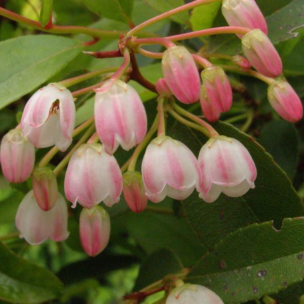Zenobia pulverulenta \'Raspberry Ripple\' C5L 50/70