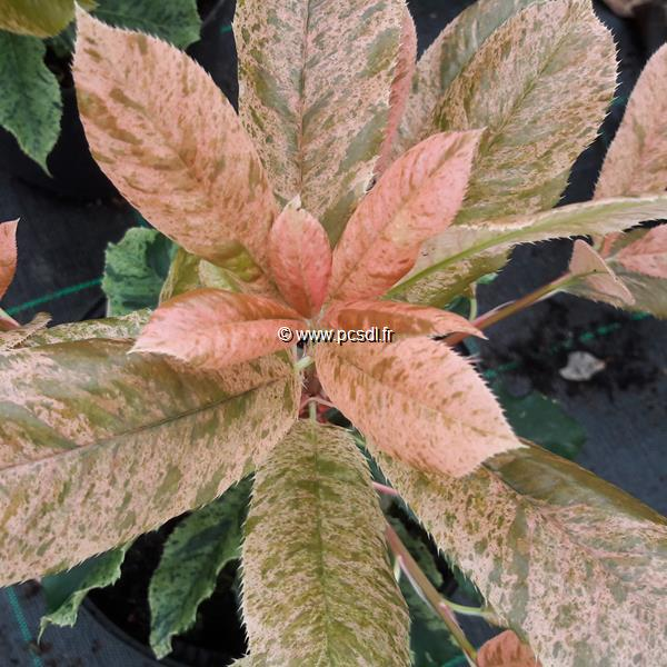 Photinia serratifolia \'Pink Crispy\' ® C2L 30/40