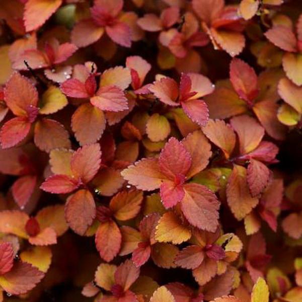 Spiraea japonica \'Zen\'Spirit ® Caramel\' C4L 30/40