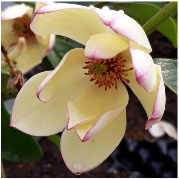 Magnolia \'Fairy Lime\' ® C5L 60/80