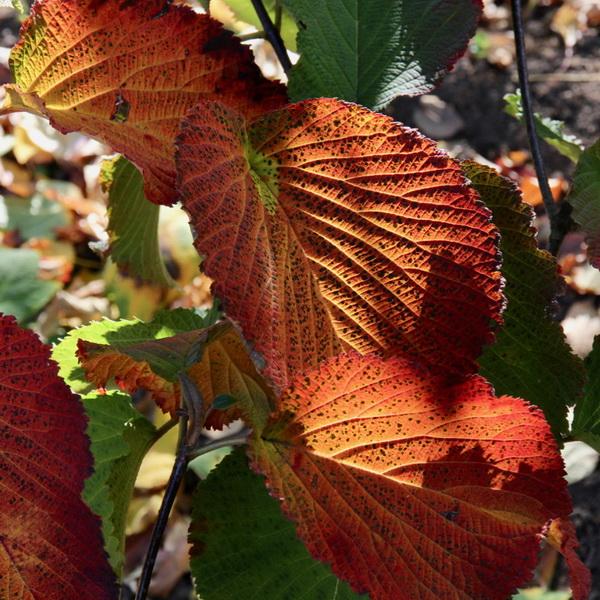 Viburnum furcatum (1)